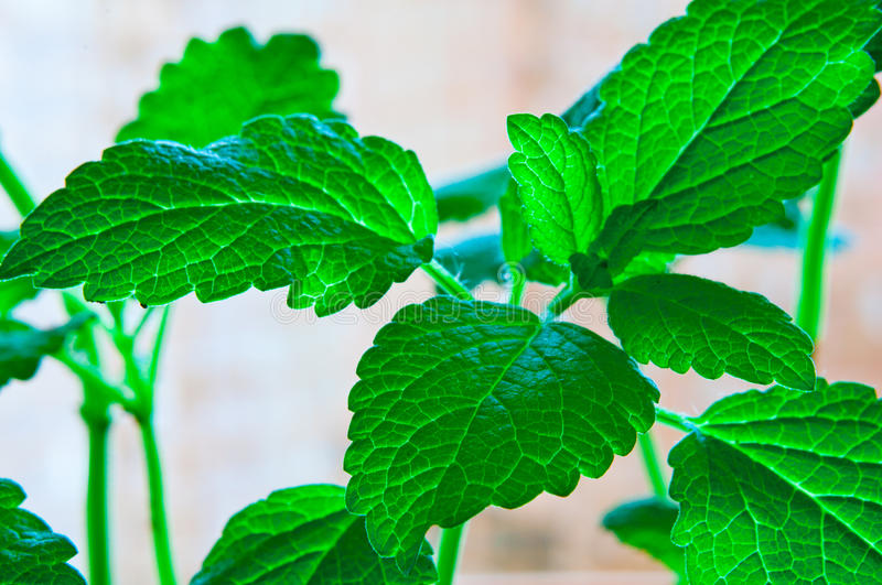 Download Fresh mint stock image. Image of health, ingredient, aromatherapy - 39505049