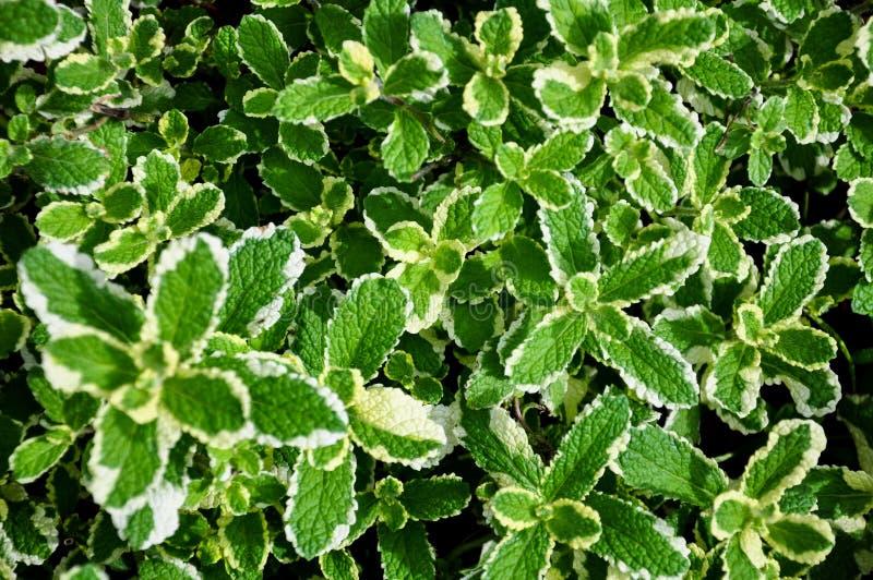 Fresh Mint royalty-vrije stock afbeeldingen
