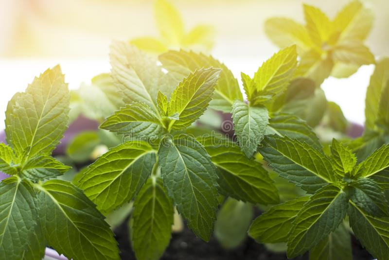Fresh Mint Herb in Pot at window. kitchen Interior. cooking ingredient. summer Plant for coktails. home. stock images