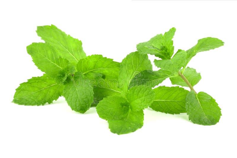 Fresh mint leaf. On white background royalty free stock photography