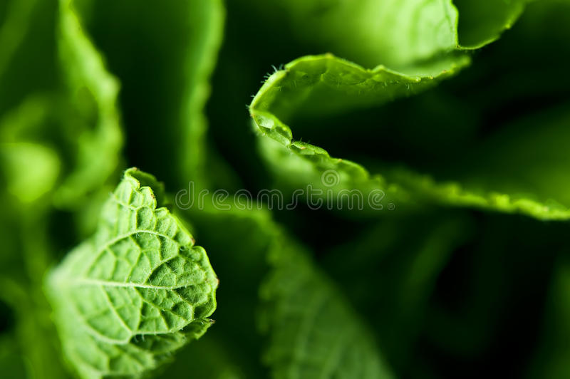 Download Fresh mint leaves stock image. Image of natural, grow - 12302735