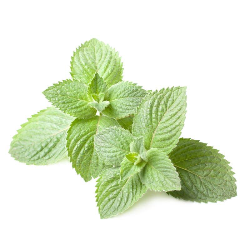 Download Fresh mint leaves stock illustration. Image of medicinal - 25238652