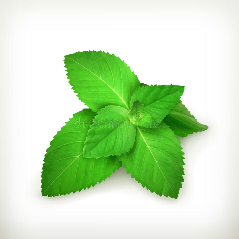 Fresh mint leaves. Illustration on white background