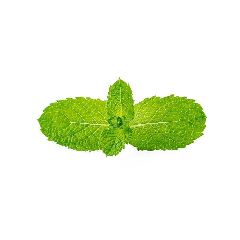 Fresh mint leaves isolated on white background.  royalty free stock image