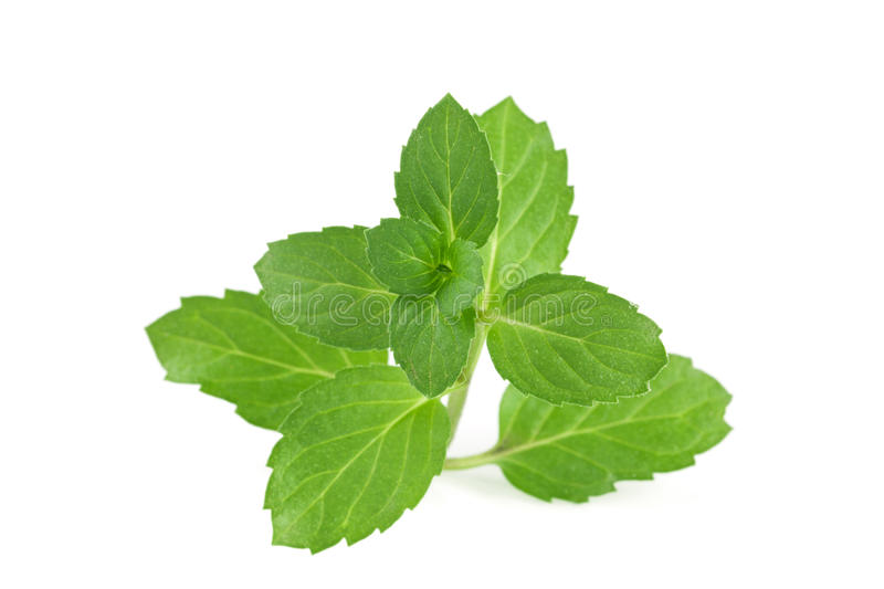 Fresh mint leaves isolated on white background.  stock photography