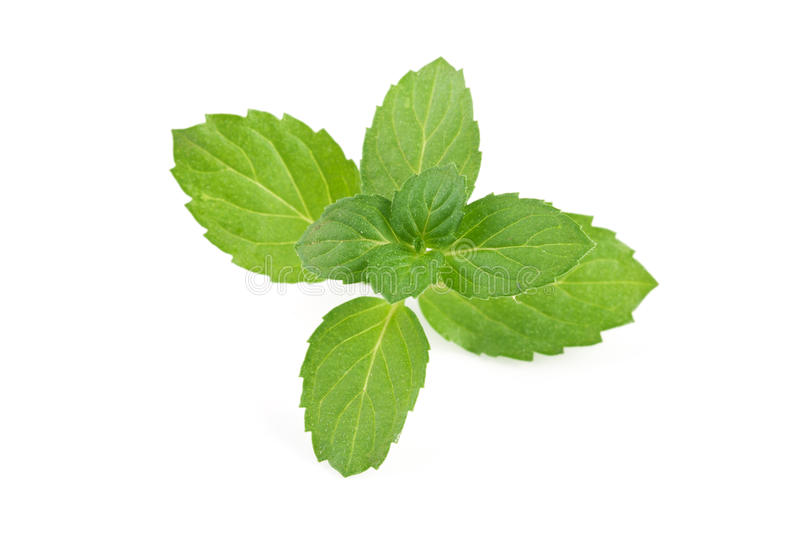 Fresh mint leaves isolated on white background.  stock images