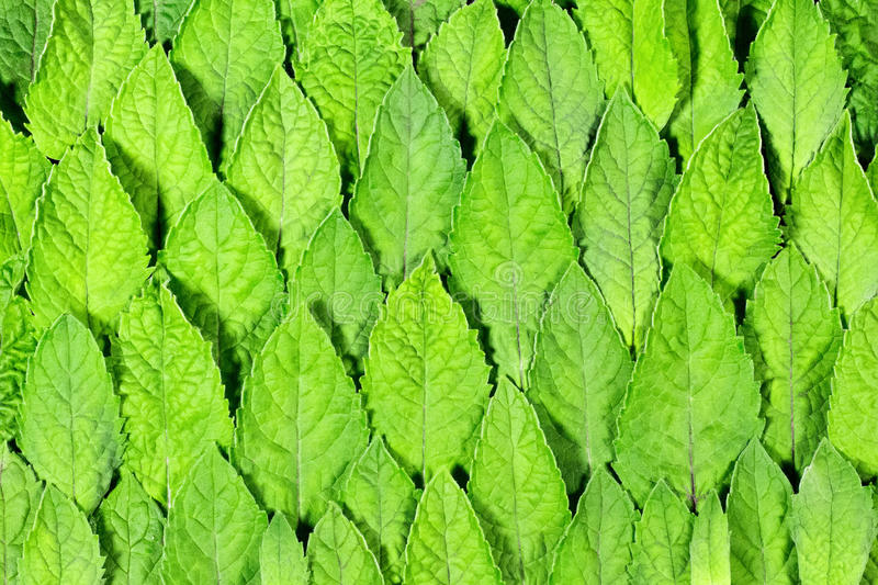 Fresh mint leaves pattern royalty free stock image