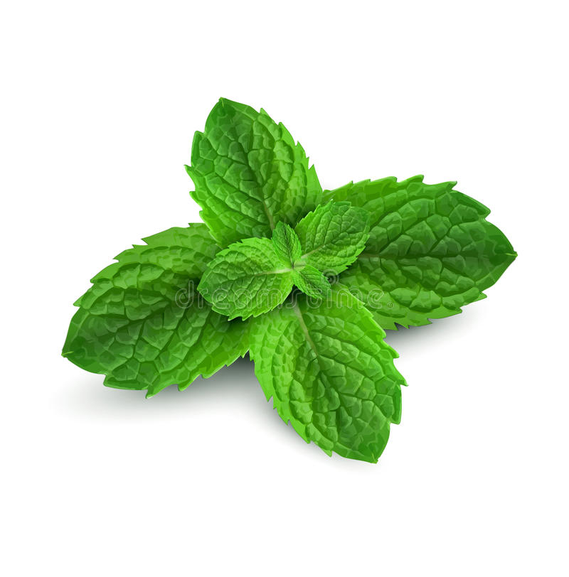 Download Fresh Mint Leaves On A White Background Stock Vector - Image: 24381168