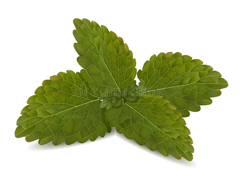 Download Fresh mint leaves stock vector. Image of leaves, nobody - 32325093