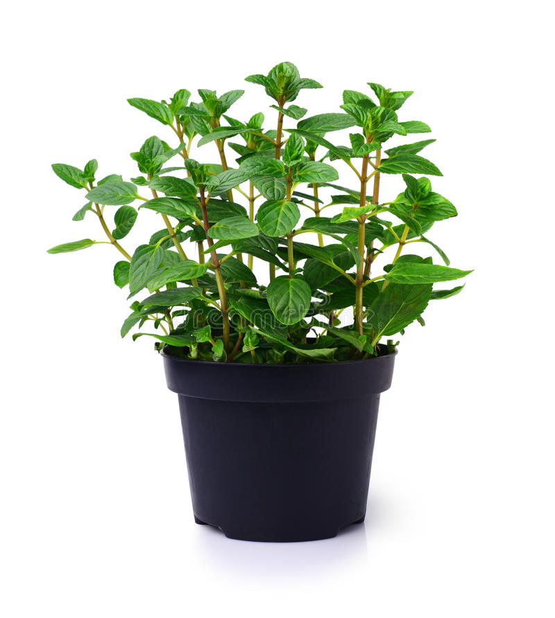 Fresh mint plant in a black pot. Isolated on white royalty free stock photography