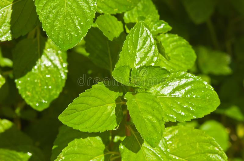 Fresh mint plant after a summer rain stock image
