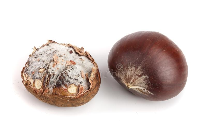 Fresh and moldy chestnuts isolated on a white background.  royalty free stock photo