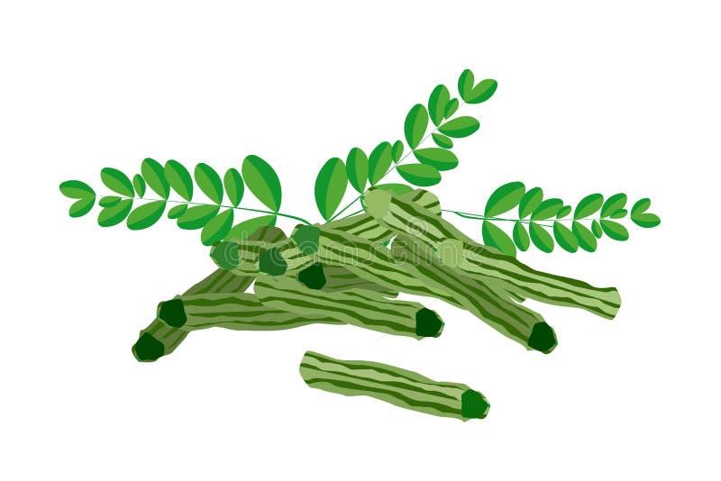 Fresh Moringa Fruit and Leaves on White Background vector illustration