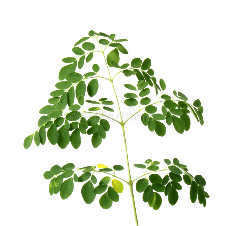 Download Fresh moringa leaves stock photo. Image of medicine, branches - 39510226