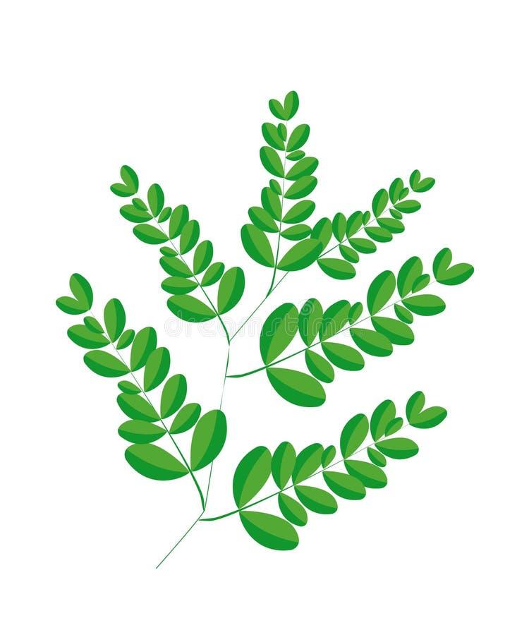 A Fresh Moringa Leaves on White Background vector illustration