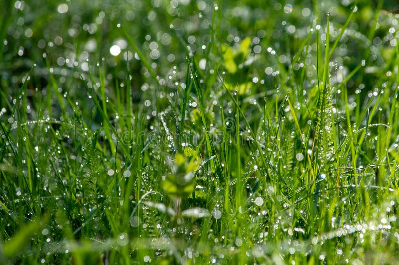 Fresh morning dew on the grass in the park. Bucharest Romania royalty free stock photography