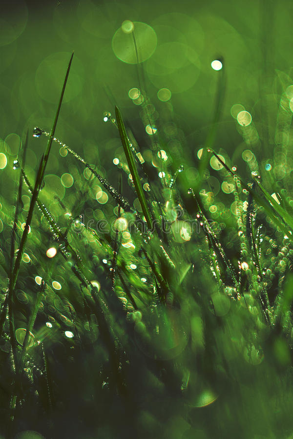 Free Fresh Morning Dew In Grass Royalty Free Stock Photography - 76723497