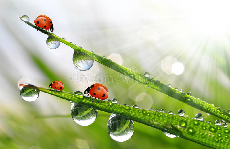 Download Fresh Morning Dew And Ladybirds Stock Image - Image: 25985275