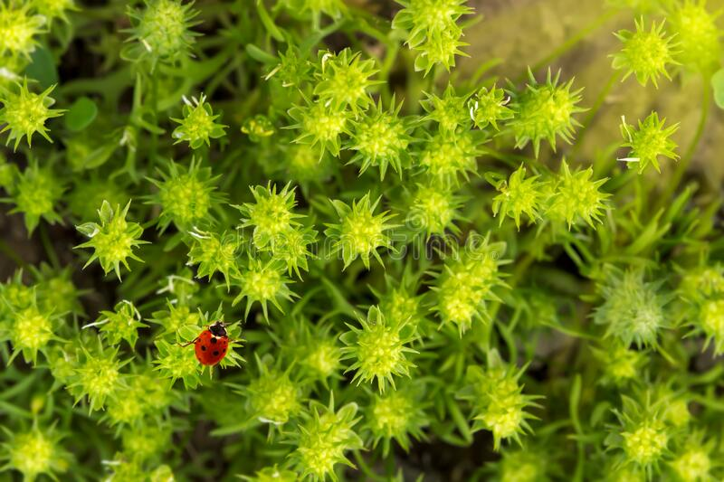 Fresh morning green spiny grass and ladybug. Natural background - close-up with shallow DOF royalty free stock image
