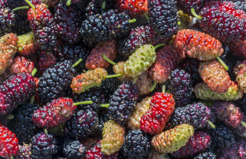 Fresh mulberry berry closeup fruit. Branch of ripe mulberry fruit royalty free stock photos