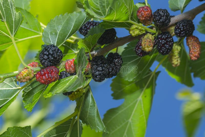 Fresh mulberry berry on the tree in nature royalty free stock photography
