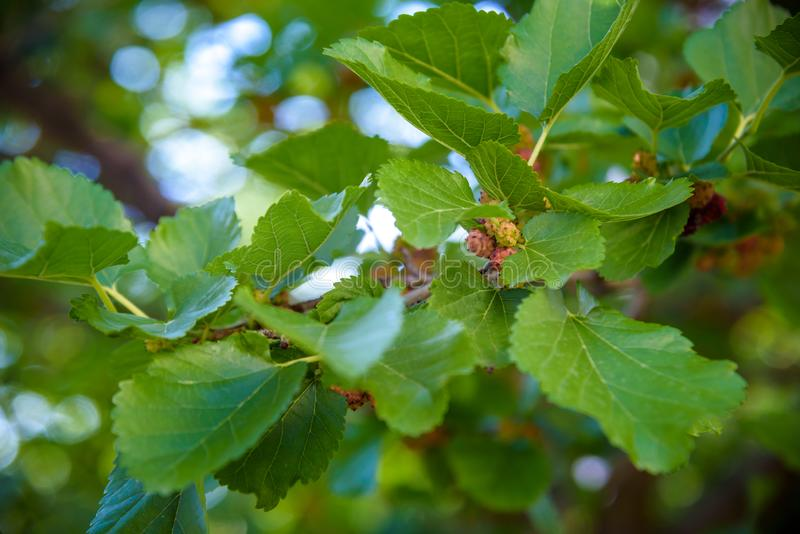 Fresh mulberry, black ripe and red unripe mulberries on the branch of tree. Healthy berry fruit.  royalty free stock images