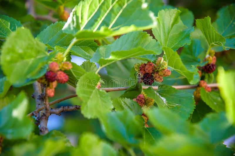 Fresh mulberry, black ripe and red unripe mulberries on the branch of tree. Healthy berry fruit.  royalty free stock photography
