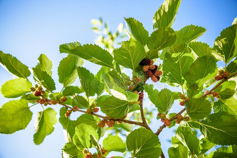 Fresh mulberry, black ripe and red unripe mulberries on the branch of tree. Healthy berry fruit.  stock photo