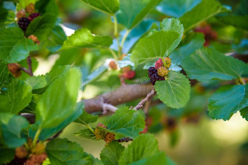 Fresh mulberry, black ripe and red unripe mulberries on the branch of tree. Healthy berry fruit.  stock image