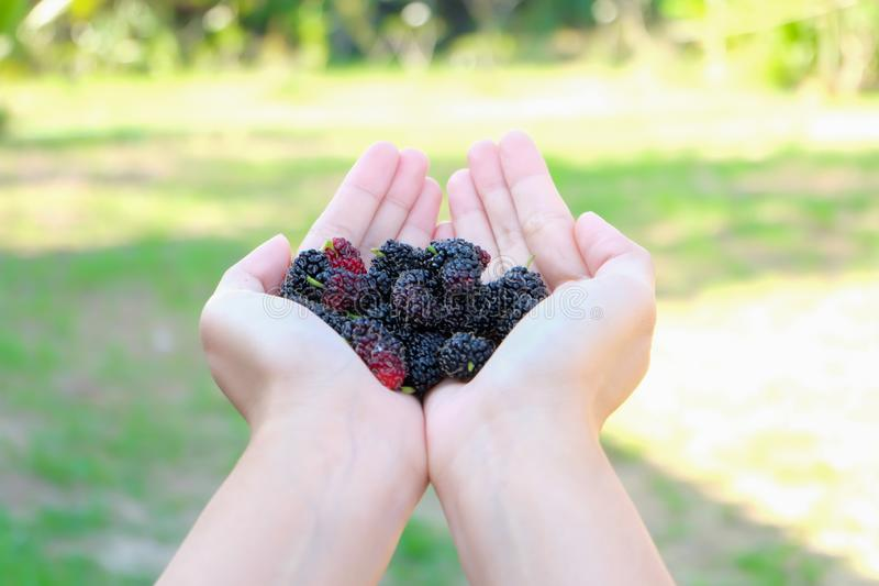 Fresh Mulberry fruits on hand,  Mulberry with very useful for the treatment and protect of various diseases.  Organic fresh, ripe.  stock image