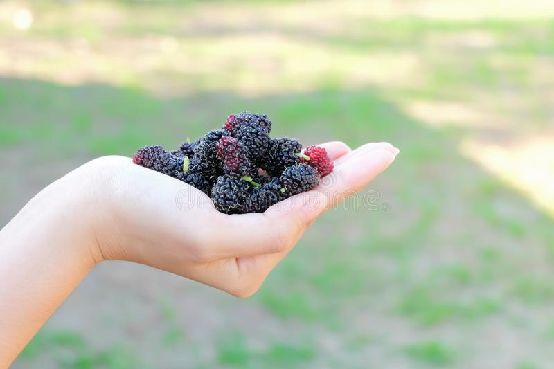 Fresh Mulberry fruits on hand, Mulberry with very useful for the treatment and protect of various diseases. Organic fresh, ripe fr. Uit stock image
