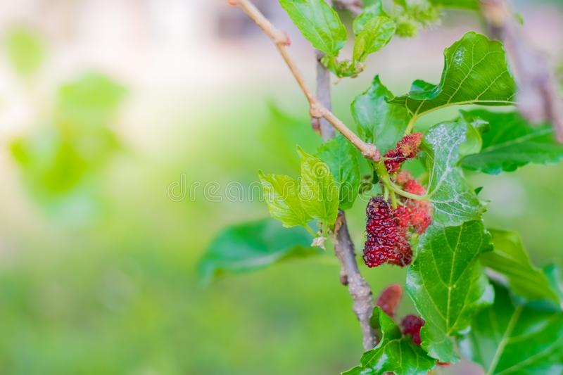 Fresh Mulberry fruits on tree, ..Mulberry with very useful for the treatment and protect of various diseases. ..Organic fresh,. Fresh Mulberry fruits on tree royalty free stock image