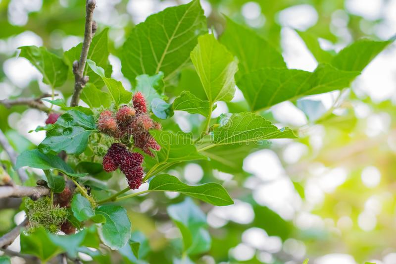 Fresh Mulberry fruits on tree, Mulberry with very useful for the treatment and protect of various diseases. ..Organic fresh,. Fresh Mulberry fruits on tree stock photos