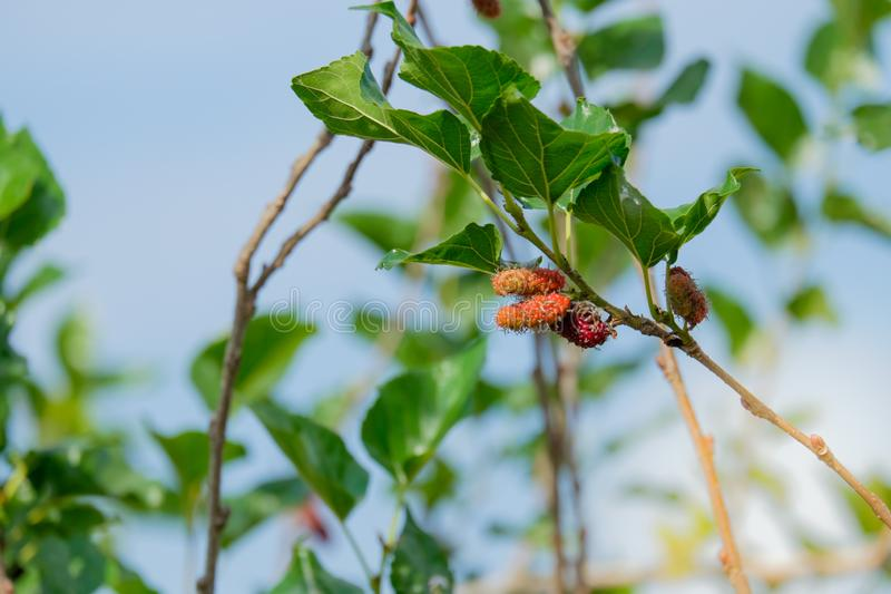 Fresh Mulberry fruits on tree, ..Mulberry with very useful for the treatment and protect of various diseases. Organic fresh, ripe fruit stock photo