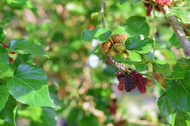 Fresh Mulberry fruits on tree, Mulberry with very useful for the treatment and protect of various diseases. ..Organic fresh,. Fresh Mulberry fruits on tree royalty free stock image