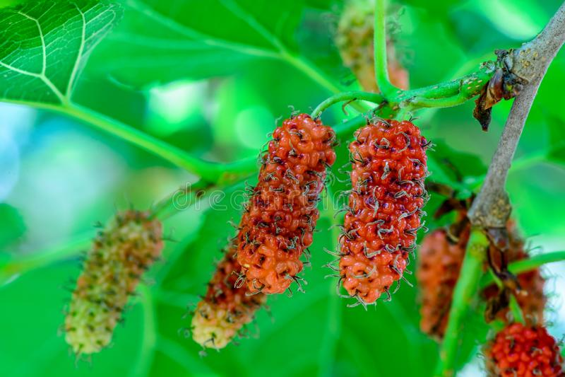 Fresh mulberry, Healthy berry fruit on the branch. Of tree with green background royalty free stock images