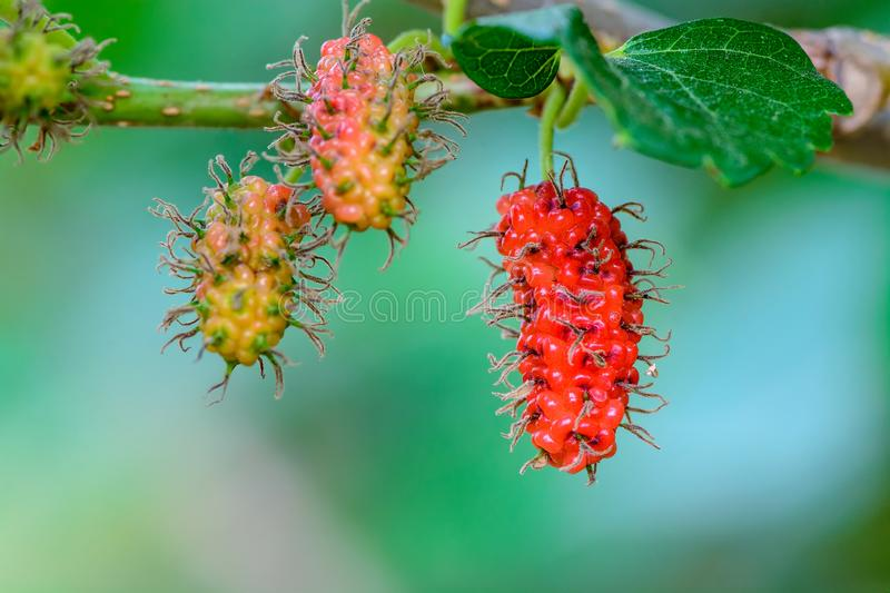 Fresh mulberry, Healthy berry fruit on the branch. Of tree with green background stock photography