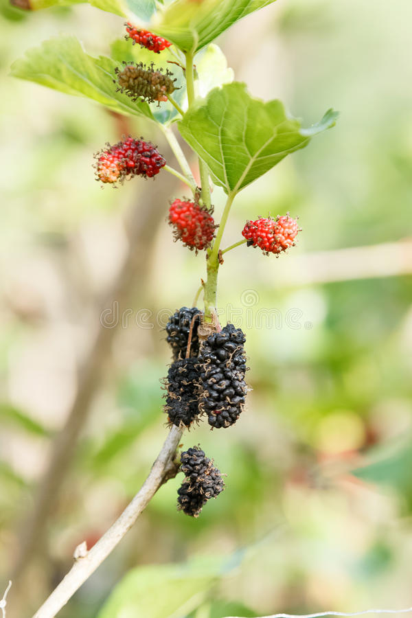 Fresh mulberry on tree. Berry fruit stock photo