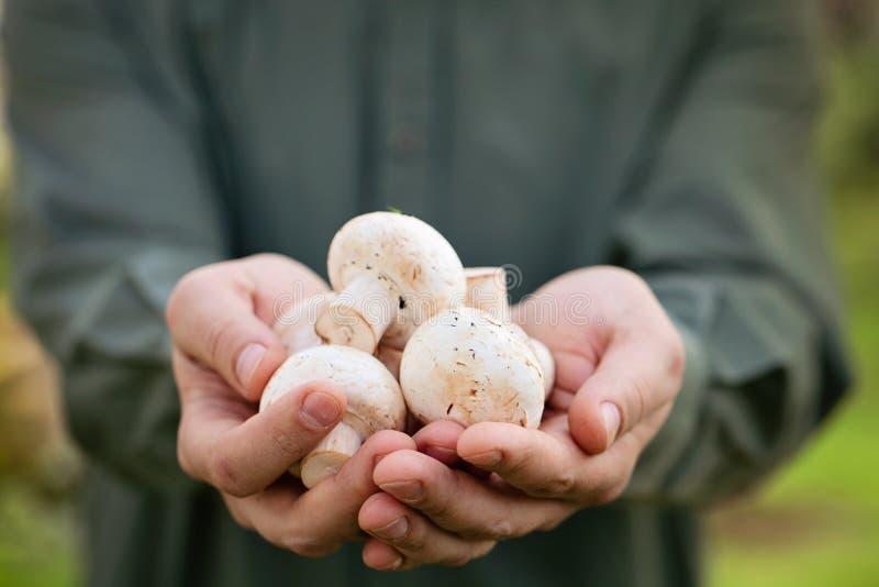Fresh mushrooms. Organic mushrooms. Healthy food. Fresh mushrooms in farmers hands royalty free stock photos
