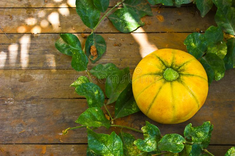 Fresh Musk Melon in Farm stock images