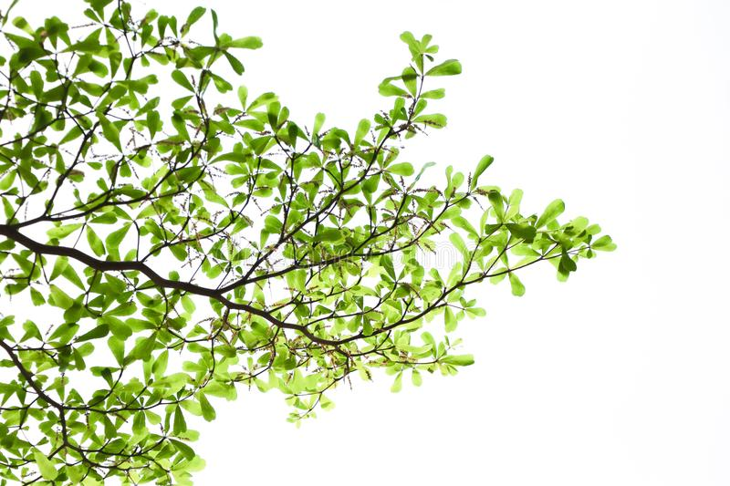 Fresh nature green leaves with branch on white background royalty free stock photography