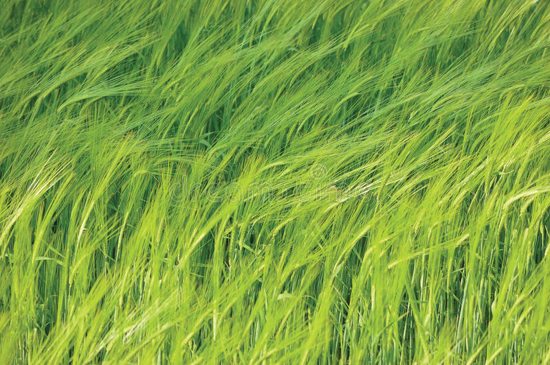 Fresh New Green Common Wild Barley Field Horizontal Background Pattern, Hordeum vulgare L. Spikes Organic Cereals Metaphor Concept stock image