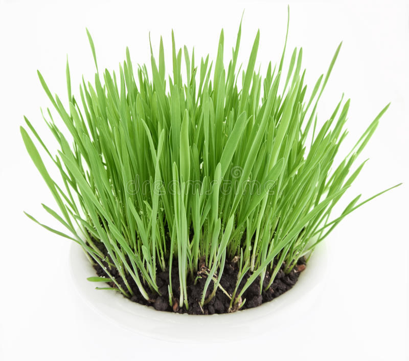 Download Fresh New Green Grass In White Plate Royalty Free Stock Photos - Image: 15135108