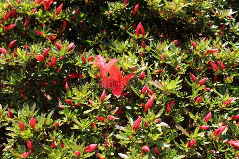 Bright orange colored azaleas ready to bloom royalty free stock image