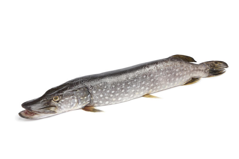 Fresh Northern pike fish stock images