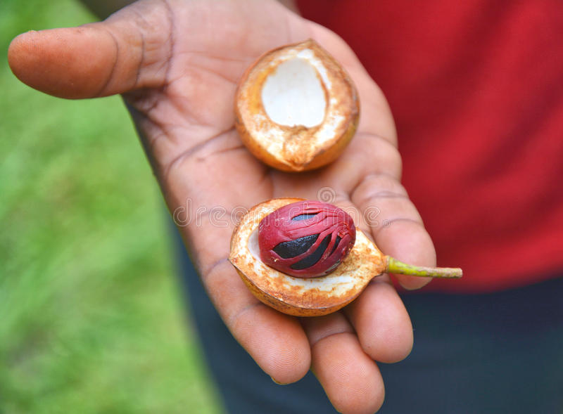 Fresh nutmeg fruit stock images