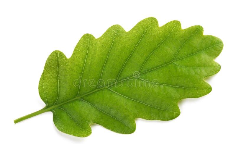 Fresh Oak leaf. Isolated on white background stock image