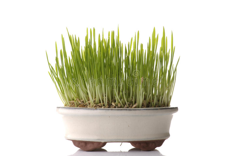 Fresh oat sprouts in bonsai pot. Isolated on white background stock photos