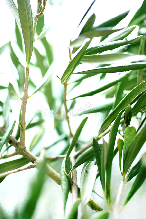 Download Fresh Olive Branch With Leaves Stock Photo - Image: 7540426