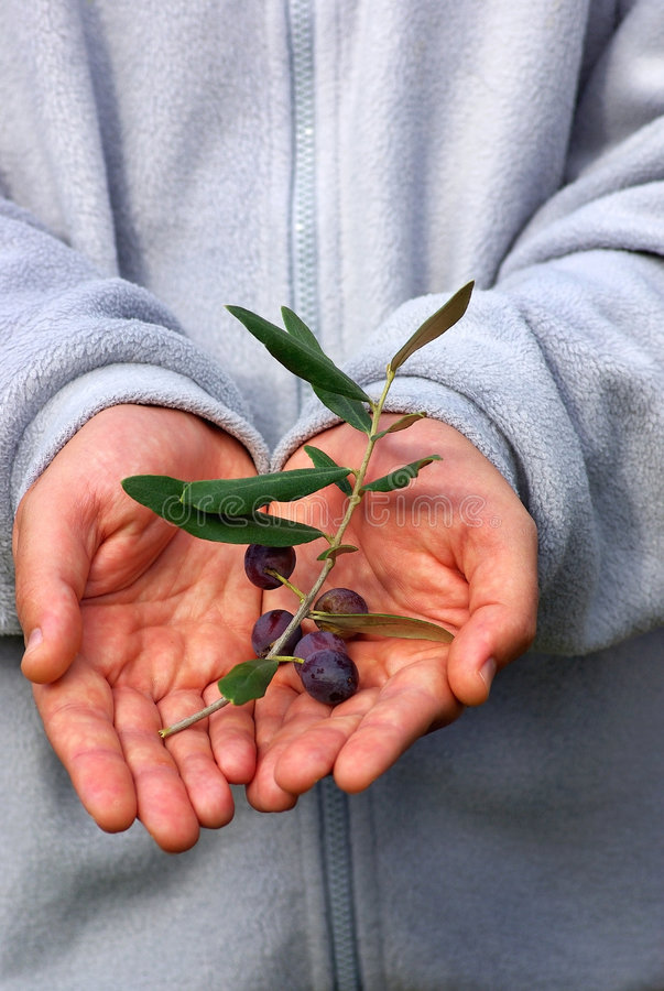 Fresh olives on branch. royalty free stock photography